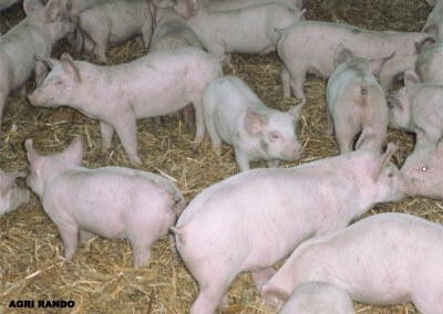 Agri-Rando – Farm visits in Corréze- Pigs