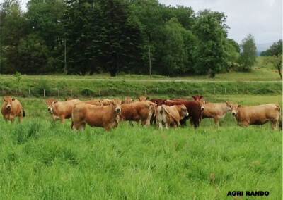Agri-Rando – Farm visits in Corréze- Cows